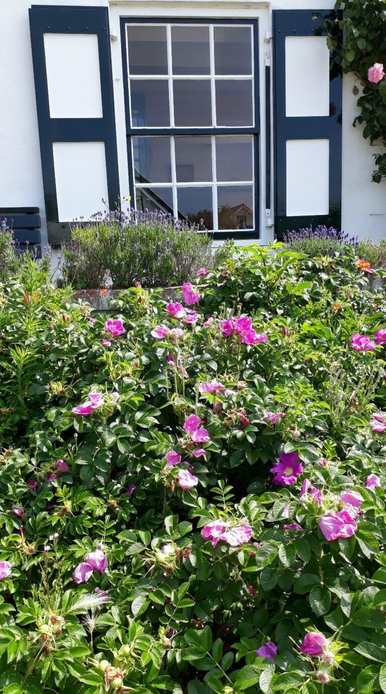 Hier sorgt eine undurchdringliche Hecke von insektenfreundlichen Wildrosen und Lavendel auf der Fensterbank für Farbe und angenehmes Klima und bietet nebenbei einen Lebensraum für Vögel und Insekten