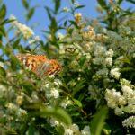 Ligusterhecke mit Blüten und Schmetterling